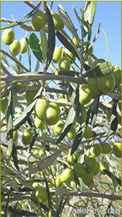 Olive Trees (Olive Nursery)