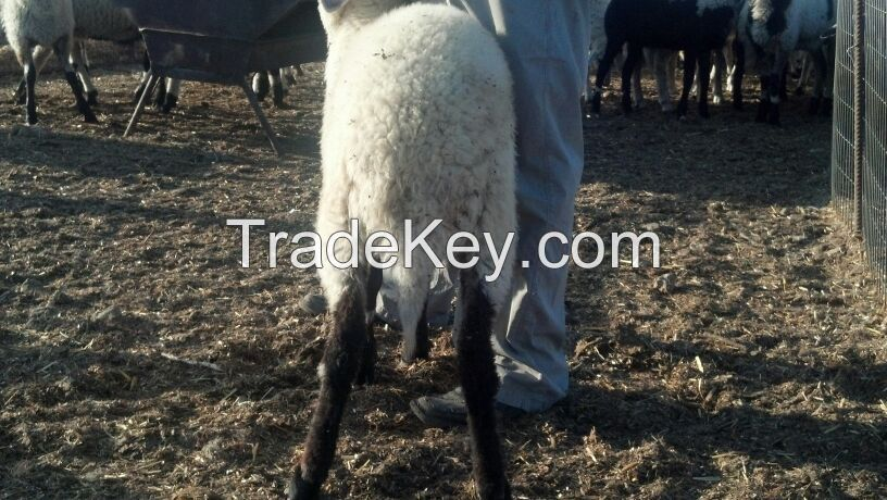 Live Shami Goats or Chios Sheep from Cyprus