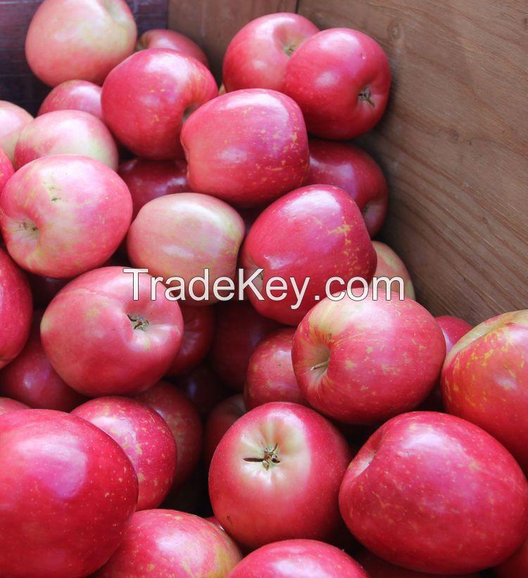 Fresh Fruits/ Fresh Golden Delicious Apple/Fresh Fuji Apple/Fresh Gala Royal Apple