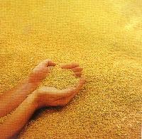 wheat grain suppliers,wheat grain exporters,wheat grain manufacturers,wheat grain traders
