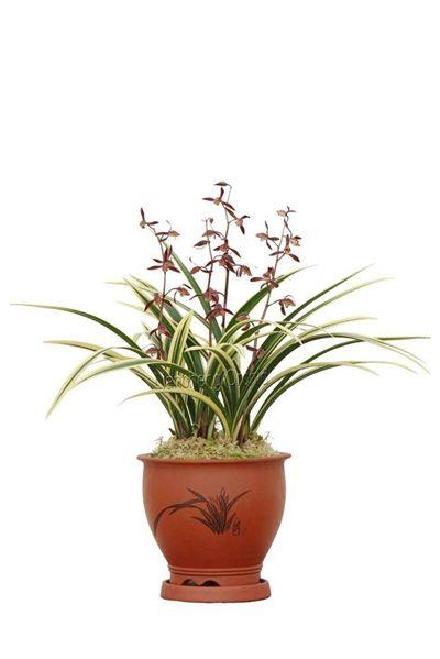 Orchid plant (Cymbidium Sinensis) M6