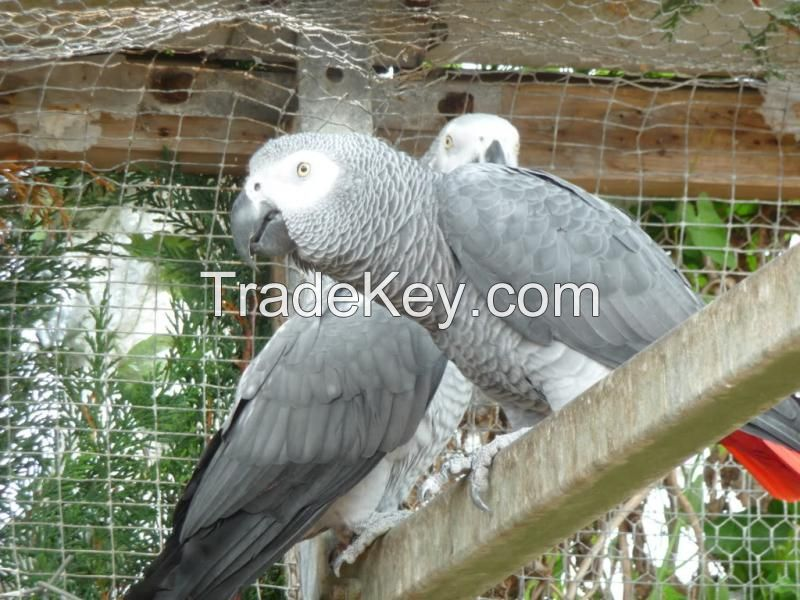 Macaws / African Grey Parrots For Sale