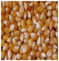 Maize | Maize Exporter | Corn Grain Seller | Maize Buyer | Bulk Maize Grain Importer | Corn bean Buyer | Corn bean Wholesaler | Corn Grain Manufacturer | Best Quality Corn Grain | Cheap Maize Supplier | Low Price Corn | Yellow Corn | White Cron | Baby Mai