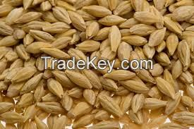 High Quality Barley Grains