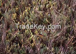 High  quality  salicornia bigelovii seeds for planting