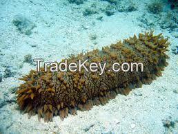 High quality  sea cucumbers