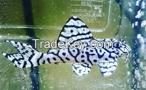 Pleco fish for sale