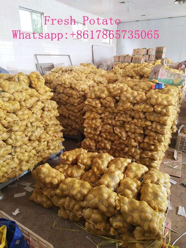 China new seaason fresh potato, yellow potato export