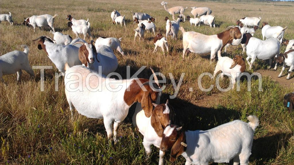100% Full Blood Boer Goats, Live Sheep, Cattle, Lambs Ready