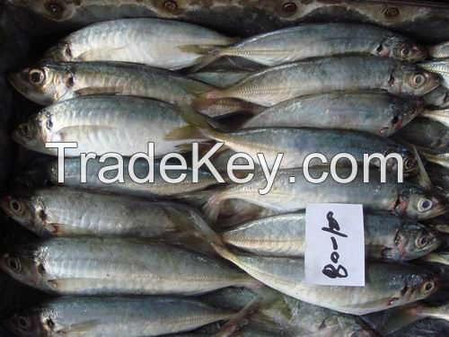 IQF Fish Frozen Horse Mackerel at factory price