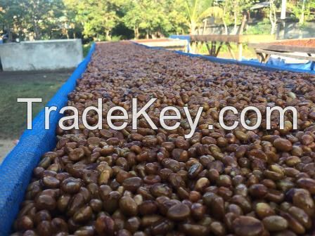 018 Robusta Coffee Bean  from lombok Island
