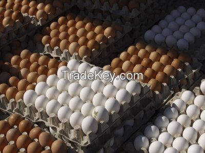 Broiler hatching eggs Cobb 500 and Ross 308 and Chicken table eggs