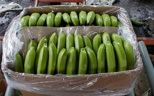 Fresh Fruits Green Cavendish Banana