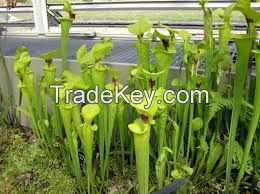 Tropical can plant carnivorous plant