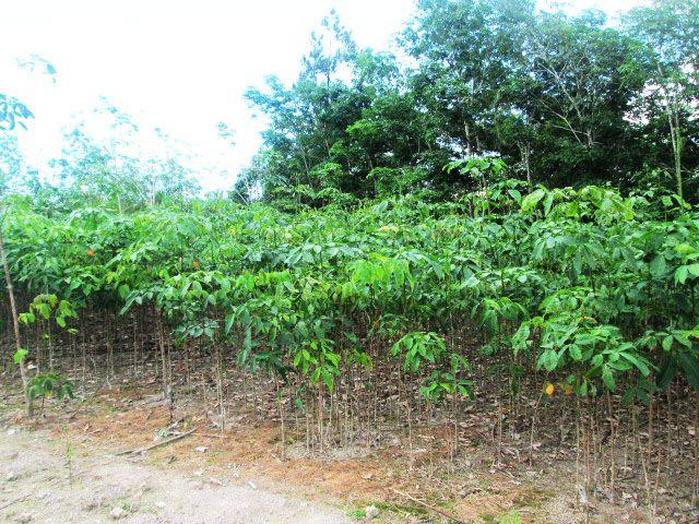 PB260 series rubber seedlings