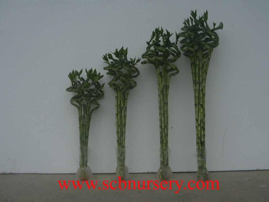 Spiral bamboo