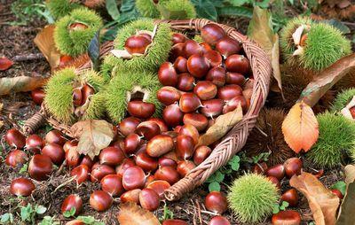 Chinese Chestnut, New Crop Fresh Chestnut