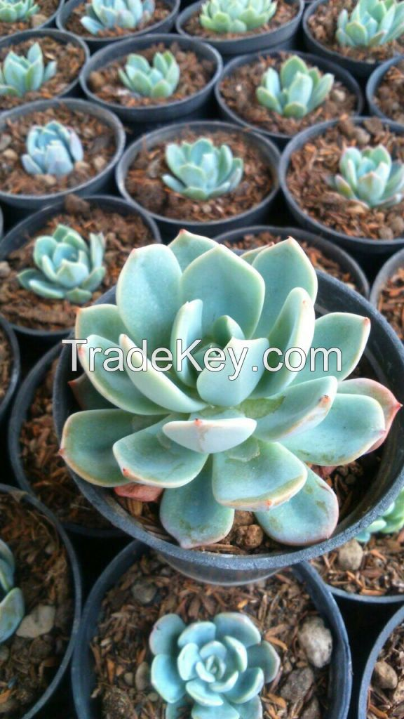 Echeveria Succulent and Cactus Indonesia