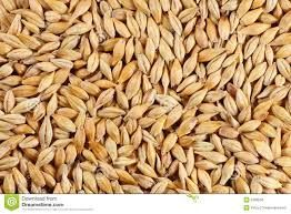 Barley seed
