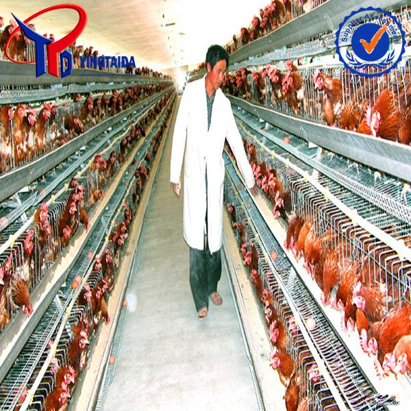 A type chicken layer cage manufacturer
