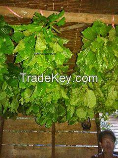 sell Kratom Powder (Mitragyna Speciosa)