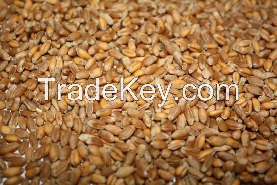 Wheat grade 2, 3, feed, durum FOB port Odessa Ukraine