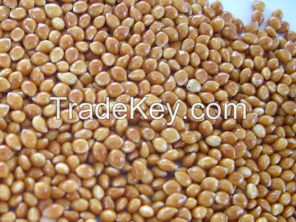Red broomcorn millet, Red millet