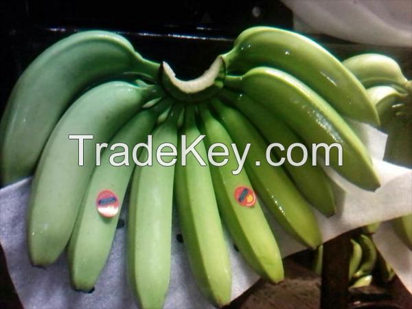 Fresh Green Class A Cavendish Bananas