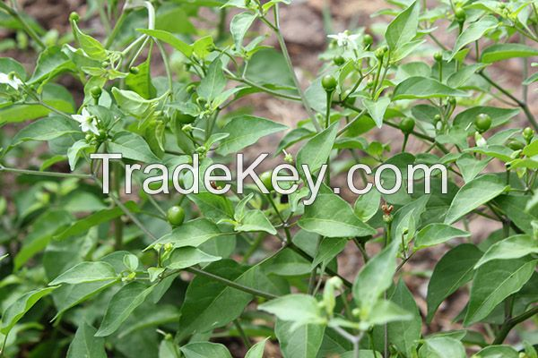 Hot Chiltepin Peppers