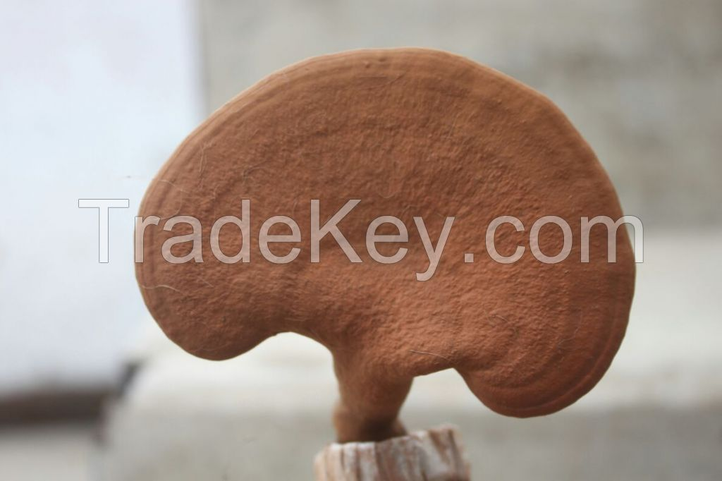 Ganoderma Mushroom (Red Reishi )
