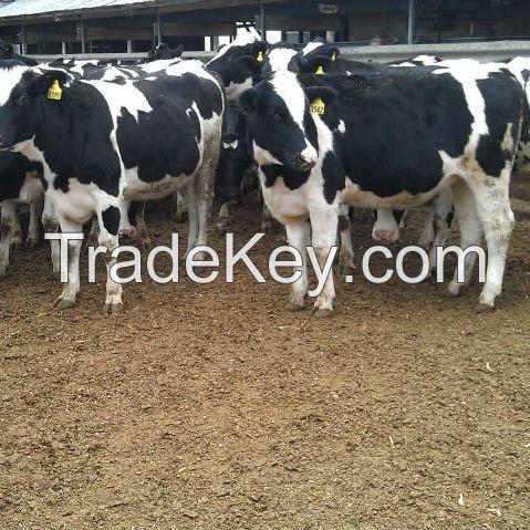 Dairy Cattle / Live Pregnant Cobra Friesian Holstein