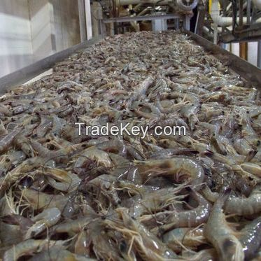 Frozen Black Tiger Shrimp at PERFECT QUALITY