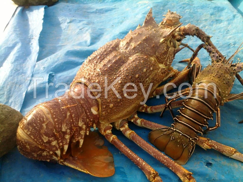 Live Tropical Spiny Lobsters