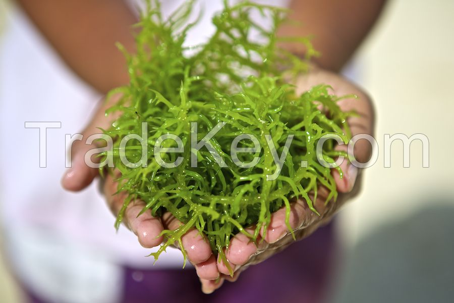 Indonesian Seaweeds