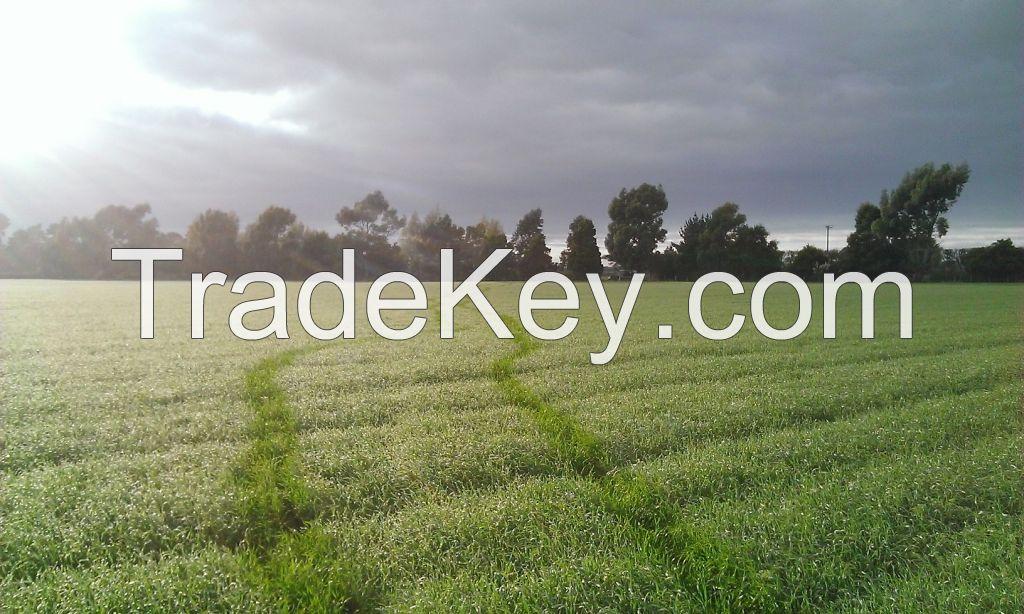 New Zealand Organic Wheatgrass