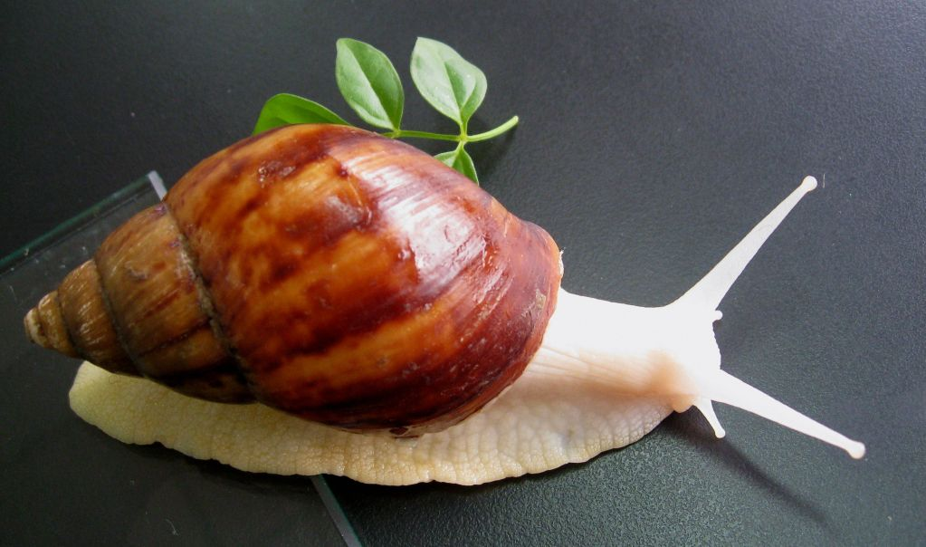 Natural Snail Extract for Cosmetic