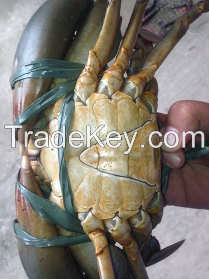 Live Mud Crab Scylla Serrata