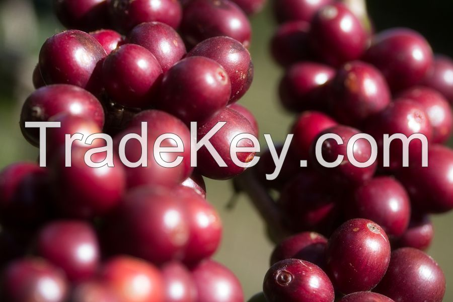 Arabic Coffee Beans,Costa Rica