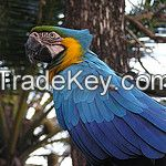 parrots ( hyacinth macaw )