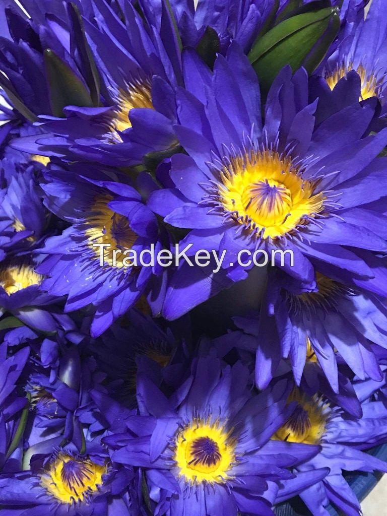 Blue Lotus Nymphaea Caerulea By Cv Berkah Jaya Indonesia