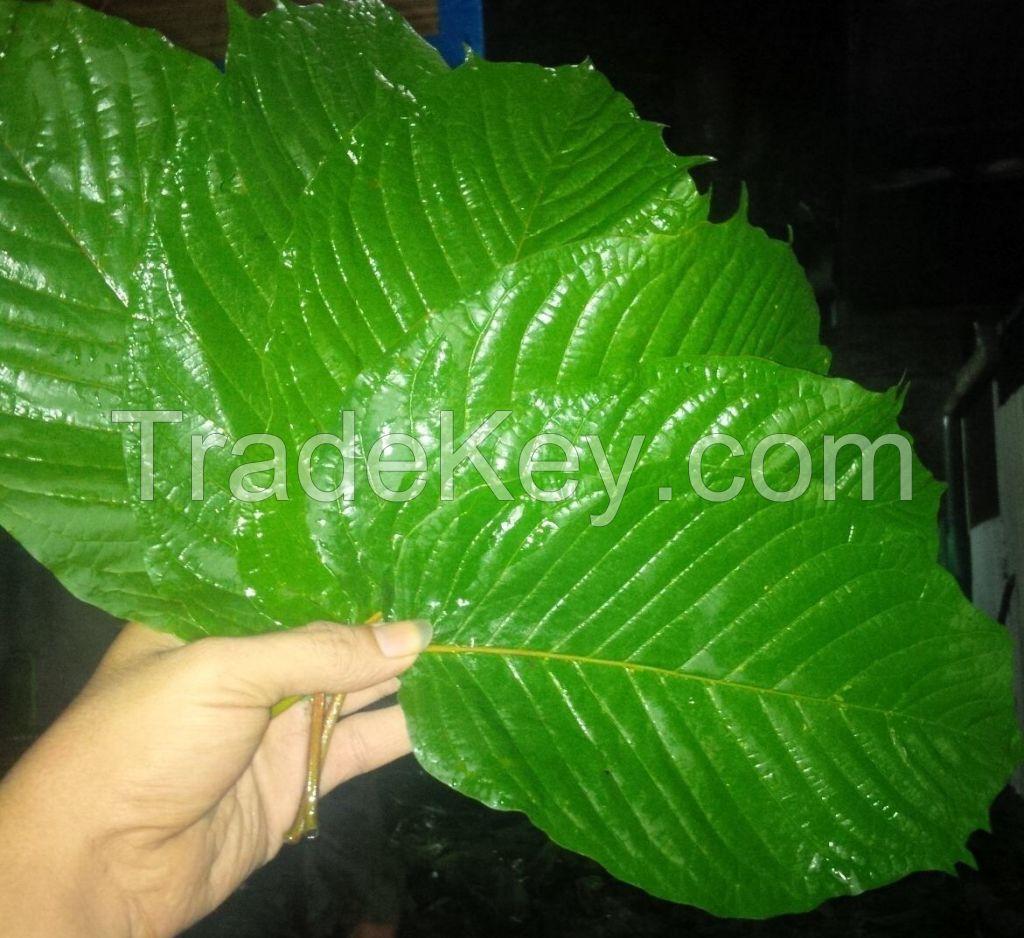 Premium Sumatra Kratom