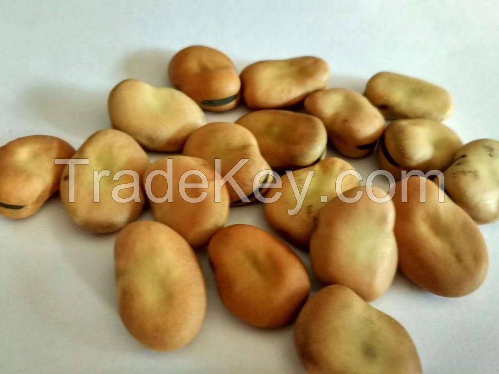 Fava beans/broad beans