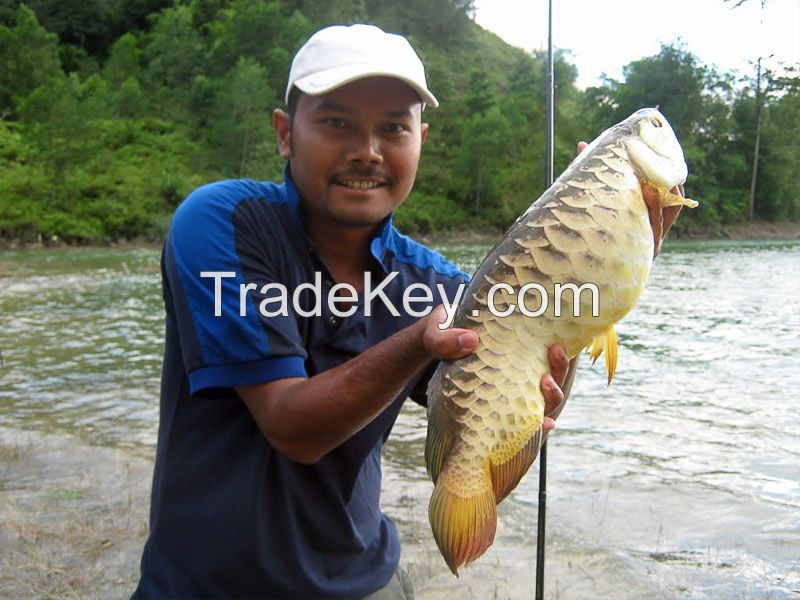 Natural Quality Arowanna Fish whole sale price High Priority Shipping available Worldwide