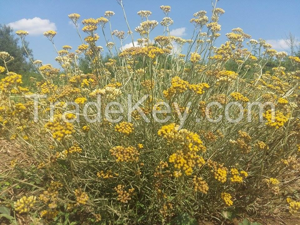 Helichrysum italicum (Immortelle) organic seeds