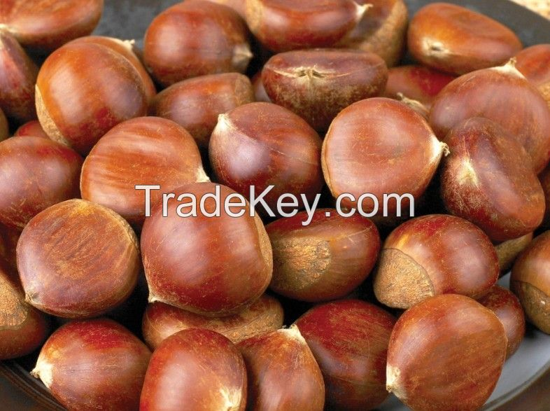 The best Chinese Chestnuts Species--Organic Fresh Chestnut for sale