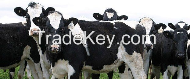 Friesian cows for sale