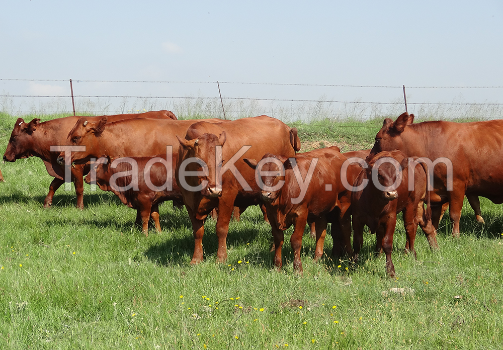 Cattles  for sale