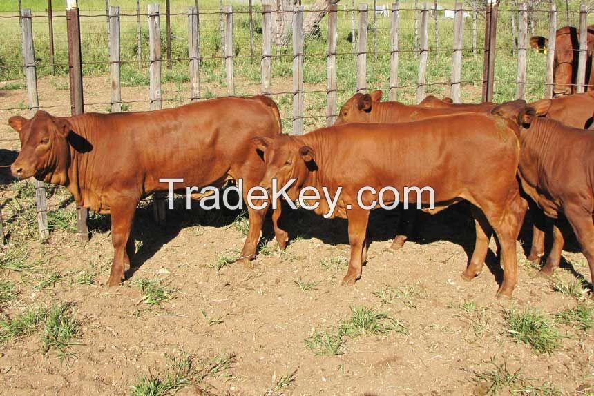 Bonsmara Cattles for sale