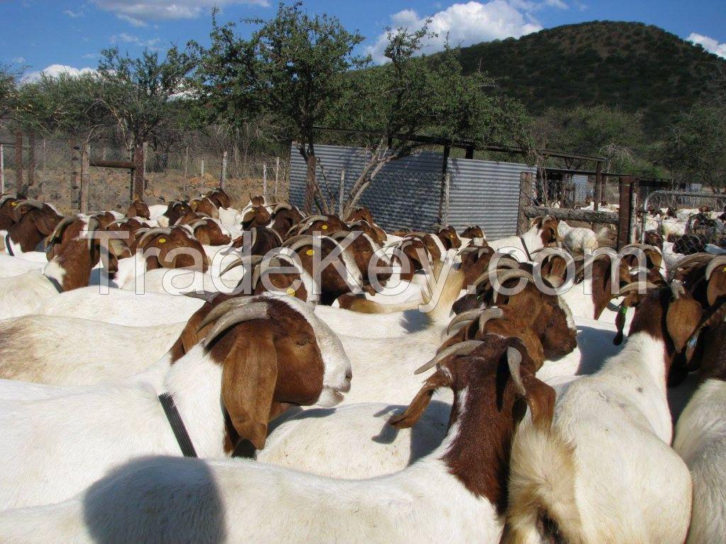 Top Quality Boer Goats