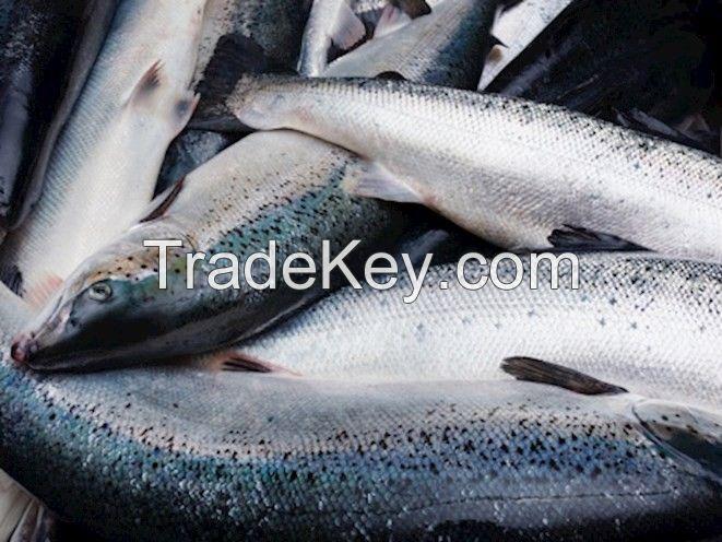 Freshly caught Salmon Fish
